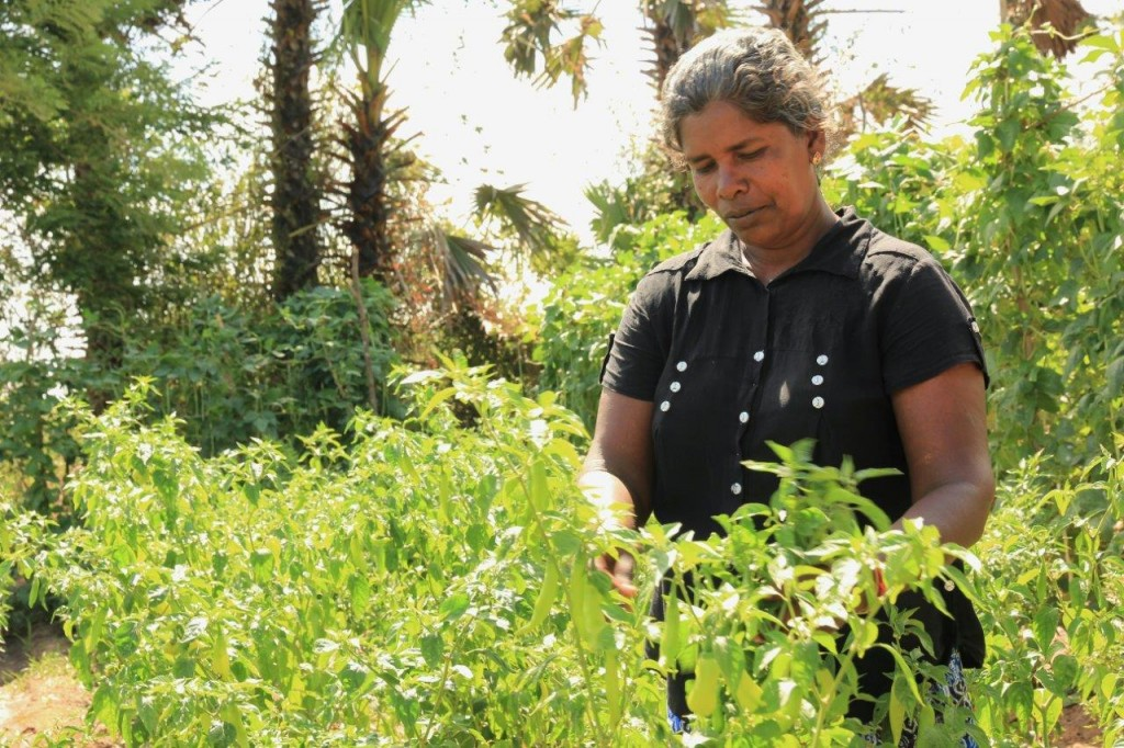 Tending to her green chilli cultivation in the home garden.
